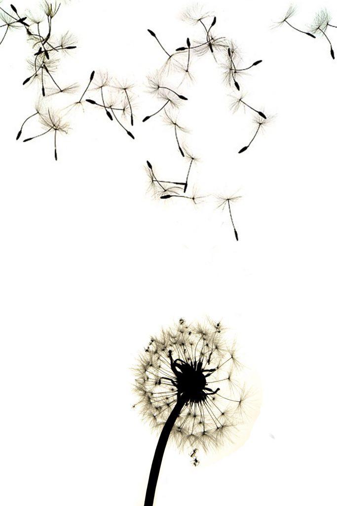 dandelion-1043956_1920